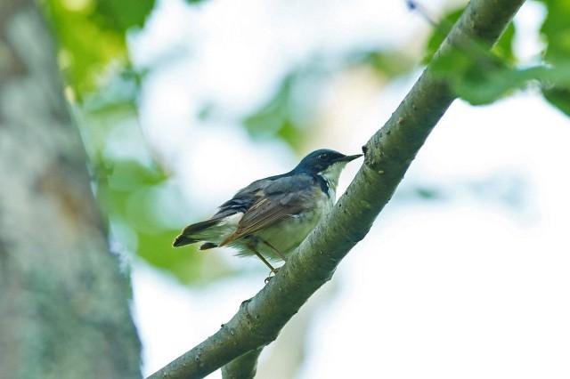 Синий соловей Фотограф: VictorV Siberian Blue Robin  Просмотров: 419 Комментариев: 0