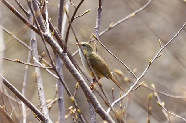Бамбуковая камышевка Фотограф: VictorV Japanese Bush-warbler  Просмотров: 488 Комментариев: 0