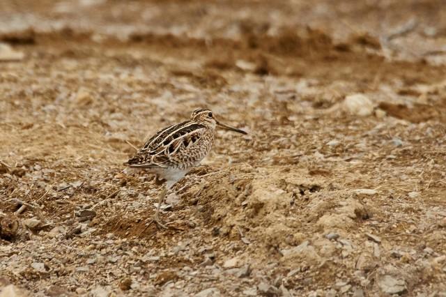 А можно я от тебя пешком уйду... Так лениво крыльями махать ))) Фотограф: VictorV Latham's Snipe  Просмотров: 408 Комментариев: 0