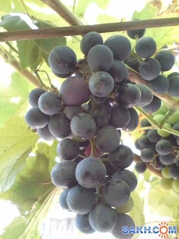 виноград мой сад  Просмотров: 394 Комментариев: 0