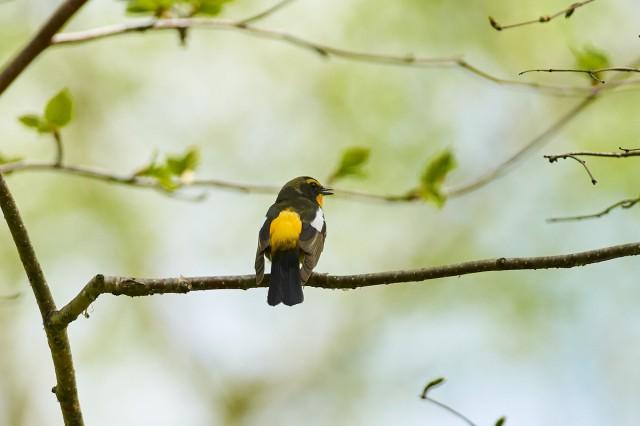 :) Фотограф: VictorV Японская мухоловка, самец  Просмотров: 600 Комментариев: 0