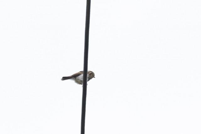 Сибирская мухоловка Фотограф: VictorV  Просмотров: 460 Комментариев: 0