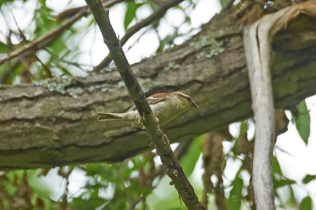 Russet Sparrow Фотограф: VictorV Рыжий воробей, самка  Просмотров: 486 Комментариев: 0