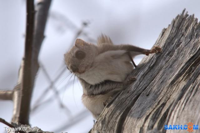 Белка-летяга или летучая белка (Pteromys volans)