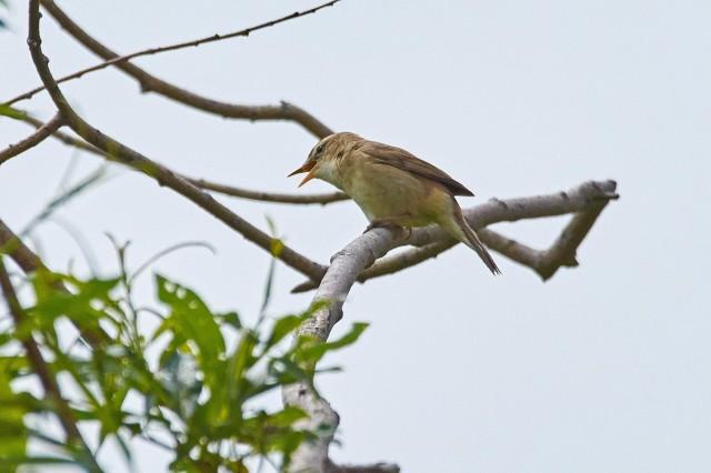 Чернобровая камышевка Фотограф: VictorV Black-browed Reed-warbler  Просмотров: 585 Комментариев: 0