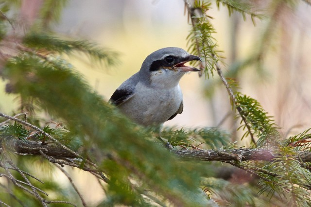 Серый сорокопут Фотограф: VictorV Great Grey Shrike  Просмотров: 1341 Комментариев: 5