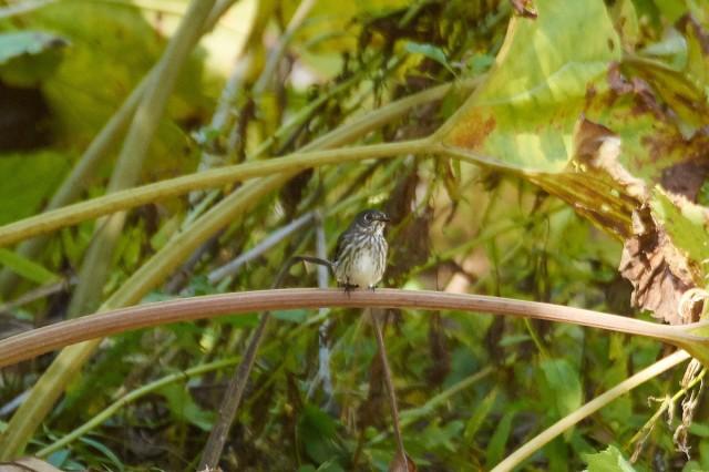 Пестрогрудая мухоловка Фотограф: VictorV Grey-streaked Flycatcher  Просмотров: 404 Комментариев: 0