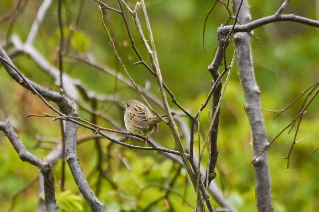 Пятнистый сверчок Фотограф: VictorV Lanceolated Warbler  Просмотров: 531 Комментариев: 0