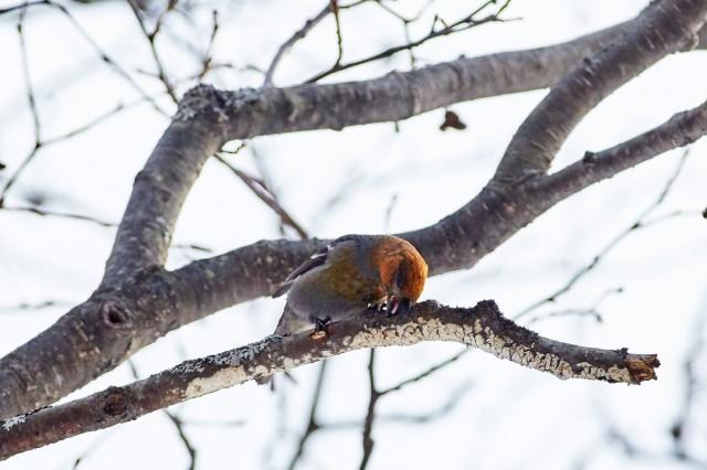 Pine Grosbeak Фотограф: VictorV Щур  Просмотров: 585 Комментариев: 0