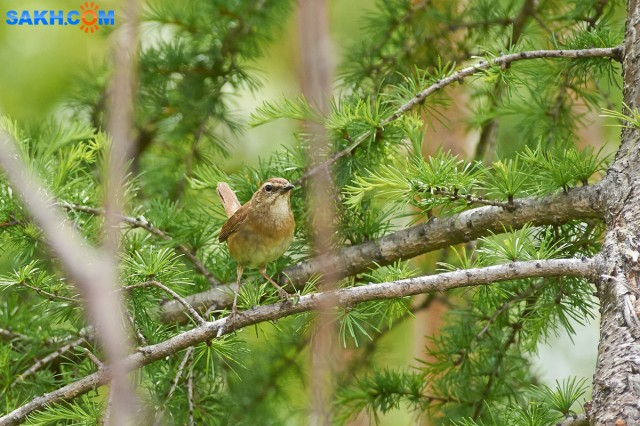 Соловей-красношейка, самка Фотограф: VictorV Siberian Rubythroat, female  Просмотров: 276 Комментариев: 0