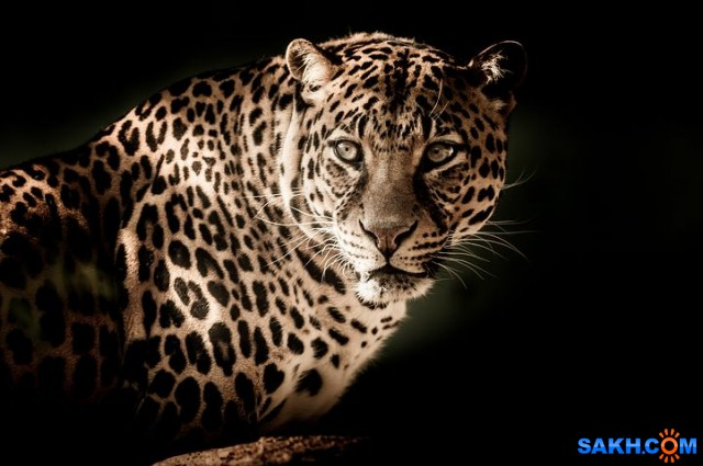 leopard-2895448__480
