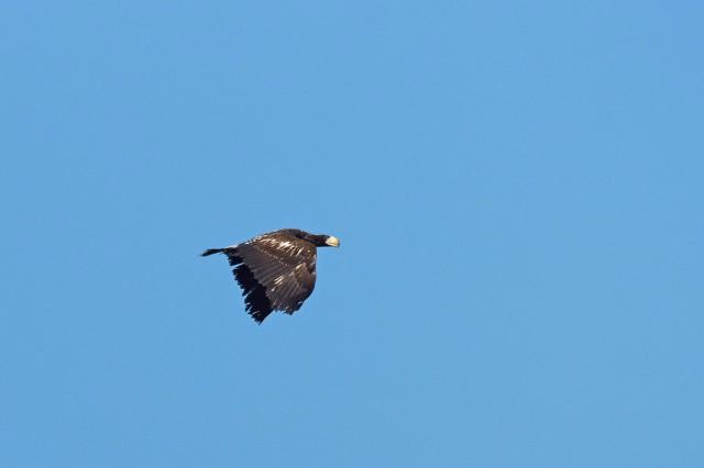 Молодой Белоплечий орлан Фотограф: VictorV  Просмотров: 445 Комментариев: 0