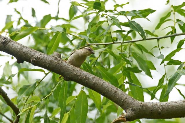 Рыжий воробей, самка Фотограф: VictorV Russet Sparrow, female  Просмотров: 662 Комментариев: 0