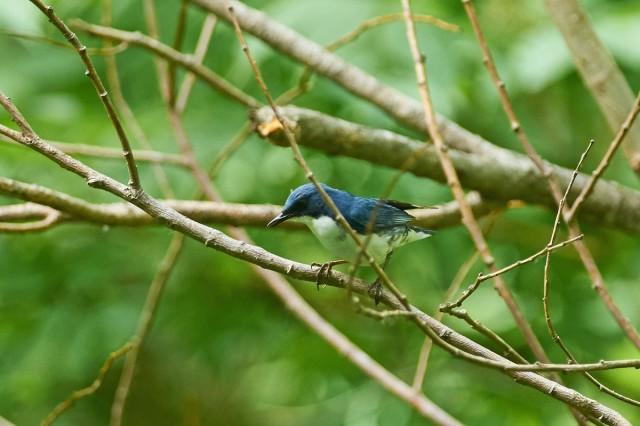 Синий соловей