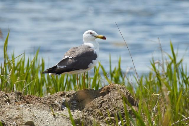 Чернохвостая чайка Фотограф: VictorV Black-tailed Gull  Просмотров: 294 Комментариев: 2