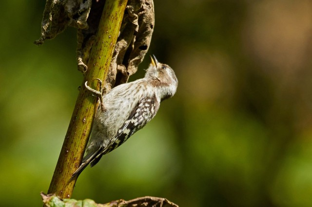 Japanese Pygmy Woodpecker Фотограф: VictorV Малый острокрылый дятел  Просмотров: 414 Комментариев: 1