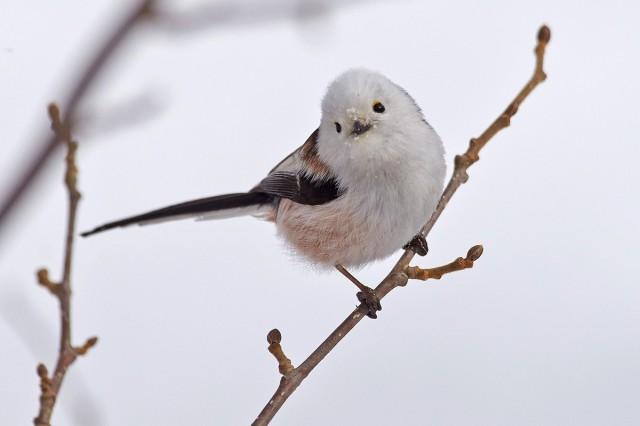 Ополовник Long-tailed Tit  Просмотров: 407 Комментариев: 0