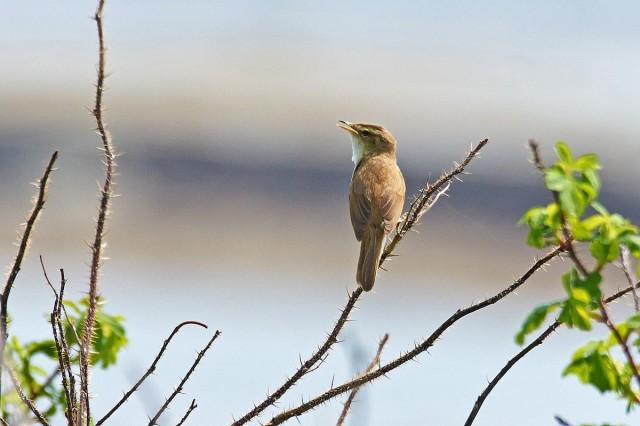 Чернобровая камышевка Фотограф: VictorV Black-browed Reed-warbler  Просмотров: 1101 Комментариев: 0