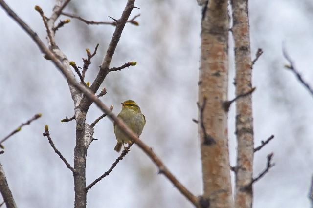 Pallas's Leaf Warbler Фотограф: VictorV Корольковая пеночка  Просмотров: 248 Комментариев: 0