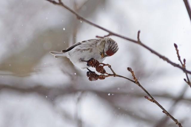Чечётка, самка Фотограф: VictorV  Просмотров: 697 Комментариев: 0
