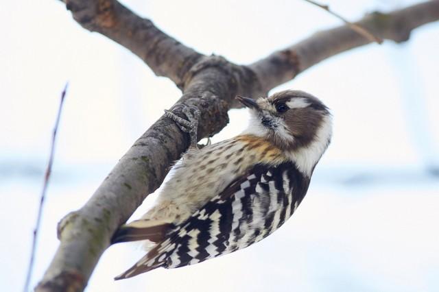Japanese Pygmy Woodpecker Фотограф: VictorV  Просмотров: 341 Комментариев: 1