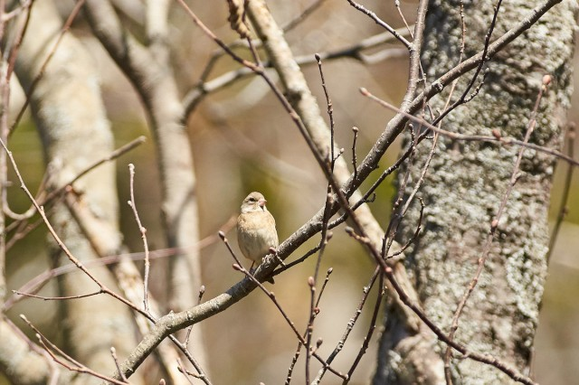 Китайская зеленушка, самка :) Фотограф: VictorV  Просмотров: 544 Комментариев: 0