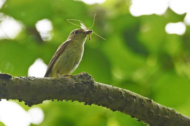 Японская мухоловка, самка Фотограф: VictorV Narcissus Flycatcher, female  Просмотров: 382 Комментариев: 0