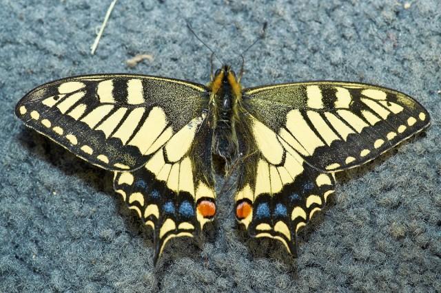 ANISE SWALLOWTAIL Фотограф: VictorV Papilio zelicaon  Просмотров: 1311 Комментариев: 1