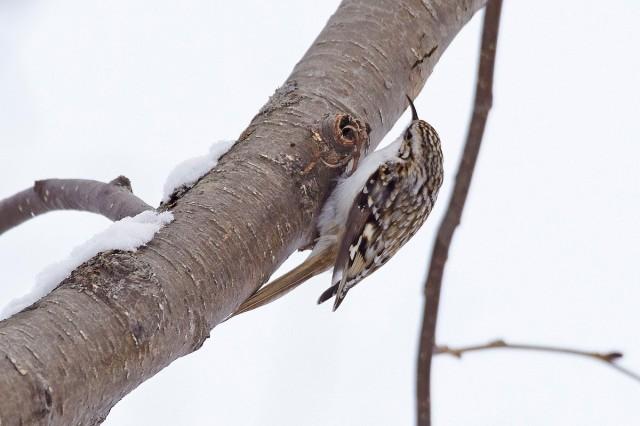Пищуха Eurasian Treecreeper  Просмотров: 394 Комментариев: 2