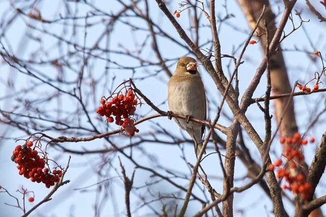 Hawfinch Фотограф: VictorV Обыкновенный дубонос  Просмотров: 332 Комментариев: 0