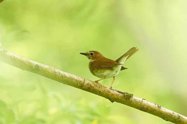 Соловей-свистун Фотограф: VictorV Rufous-tailed Robin  Просмотров: 476 Комментариев: 0