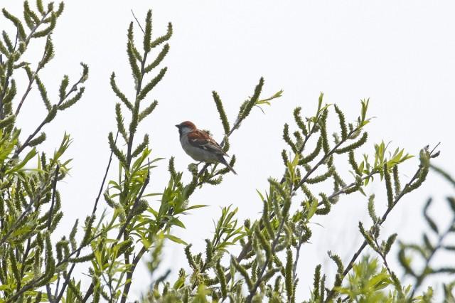 Russet Sparrow Фотограф: VictorV Рыжий воробей  Просмотров: 451 Комментариев: 0
