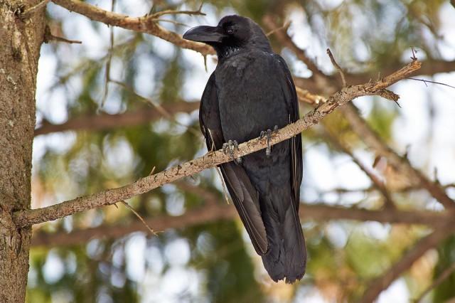 Большеклювая ворона Фотограф: VictorV  Просмотров: 642 Комментариев: 0