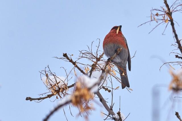 Щур Фотограф: VictorV Pine Grosbeak  Просмотров: 795 Комментариев: 0
