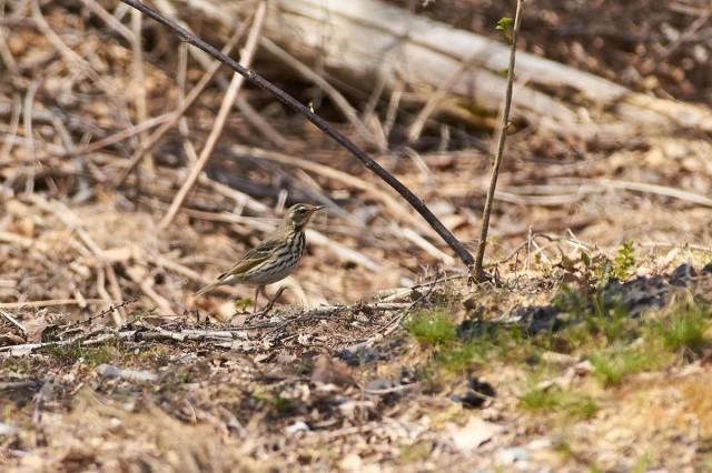 Пятнистый конёк, самка Фотограф: VictorV  Просмотров: 568 Комментариев: 0