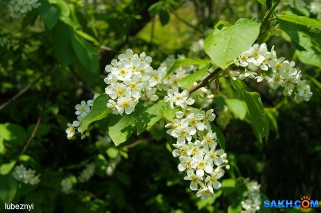 цветение черёмухи Фотограф: NIK  Просмотров: 1454 Комментариев: 0