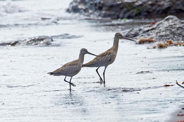 Bar-tailed Godwit Фотограф: VictorV Малый веретенник  Просмотров: 668 Комментариев: 0