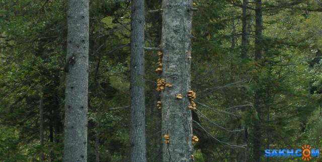 Древесные опята. На соседнем дереве, слева - черная белочка.  Просмотров: 78 Комментариев: 0