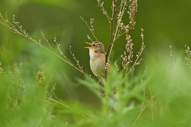 Чернобровая камышевка Фотограф: VictorV Black-browed Reed-warbler  Просмотров: 491 Комментариев: 0