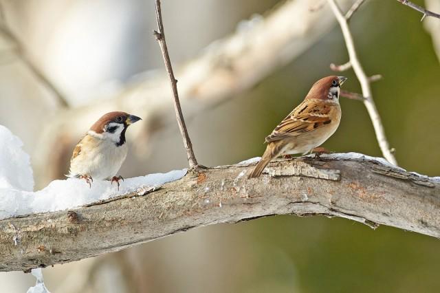 Полевые воробьи Фотограф: VictorV Eurasian Tree Sparrow  Просмотров: 1478 Комментариев: 0