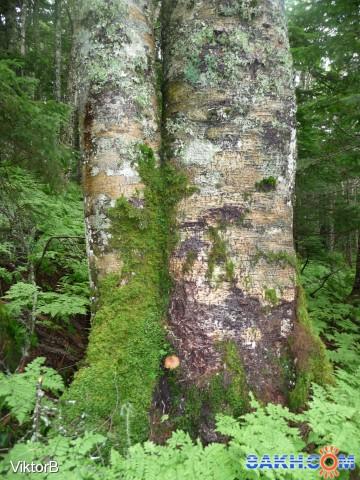 Рос, рос и в дерево врос!