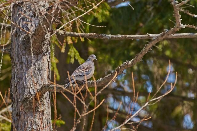 Большая горлица Фотограф: VictorV Oriental Turtle-dove  Просмотров: 484 Комментариев: 2