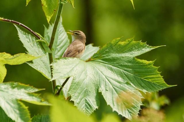 Чернобровая камышевка Фотограф: VictorV Black-browed Reed-warbler  Просмотров: 389 Комментариев: 0