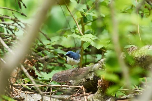 Синий соловей Фотограф: VictorV  Просмотров: 506 Комментариев: 0