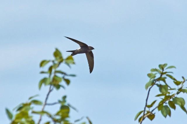 Белопоясный стриж Фотограф: VictorV Fork-tailed Swift  Просмотров: 495 Комментариев: 3