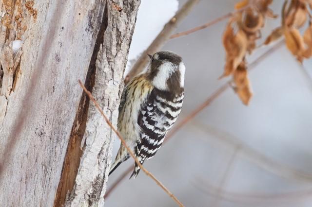 Japanese Pygmy Woodpecker Фотограф: VictorV Малый острокрылый дятел  Просмотров: 427 Комментариев: 0