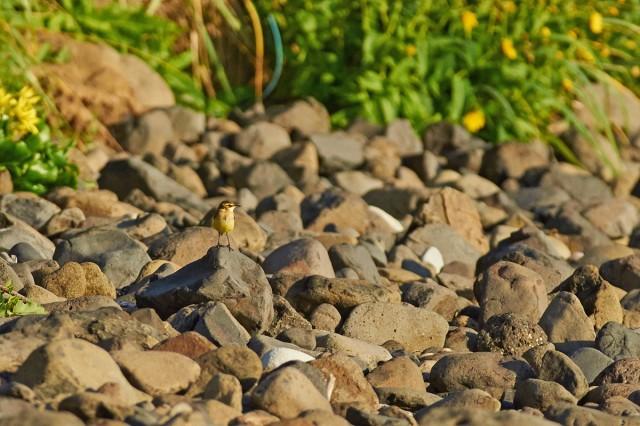 Зеленоголовая трясогузка Фотограф: VictorV  Просмотров: 291 Комментариев: 0