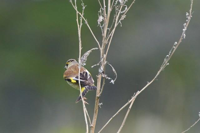 Grey-capped Greenfinch Фотограф: VictorV Китайская зеленушка  Просмотров: 391 Комментариев: 0