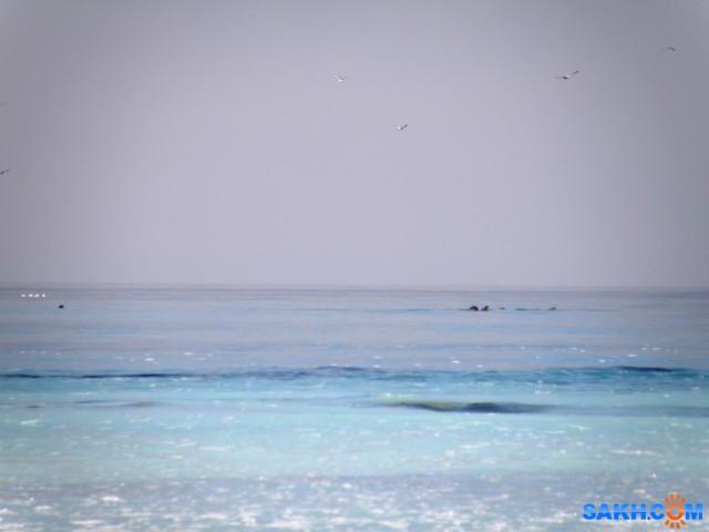 Море голубое - нерест сельди. На горизонте касатки и сивучи.  Просмотров: 162 Комментариев: 0