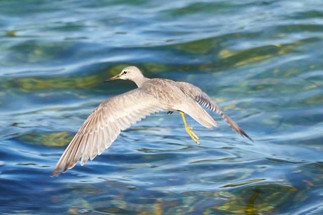 Grey-tailed Tattler Фотограф: VictorV Сибирский пепельный улит  Просмотров: 902 Комментариев: 1